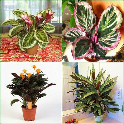 50 pcs Calathea Flower Seeds Holiday Peacock Plant Low Light High Humidity