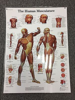 3B Scientific Human Muscle Chart Laminated VR1118