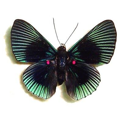 Real Framed Lyropteryx Apollonia Pink Spotted Metalmark Butterfly 474