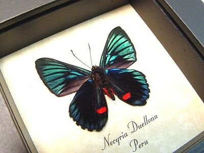 Real Framed Necyria Duellona Verso Metallic Green Blue Red Butterfly 712V
