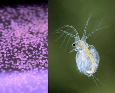 Moina Cysts Culture Eggs (similar to daphnia but easier) food for fish triops