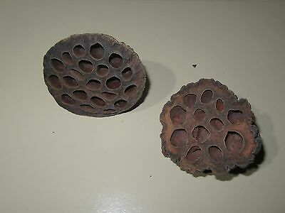 Dried Lotus Seed Pods - Qty 6