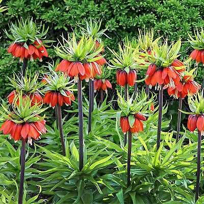 "Fritillaria ""Rubra"" Crown Imperial Giant 