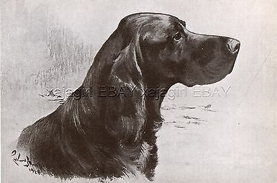 DOG Gordon Setter (Named Champion) Sketch Portrait, Vintage Print 1930s