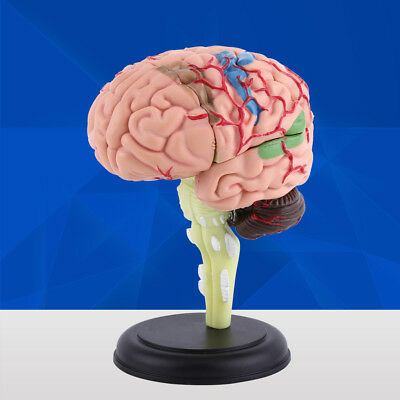 New 4D Disassembled Anatomical Human Brain Model Anatomy Medical Teaching Tool I