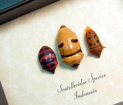 Real Framed Scutelleridae Sp Man Face Trio Smiling Coneheads Beetle 8508