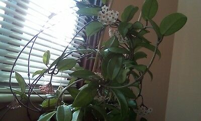 "Hoya""Carnosa"" Wax Plant Unrooted Stem"
