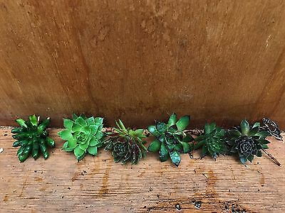 10X Mixed Sempervivum succulent Cuttings ***FREE POSTAGE***