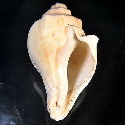 255.00 cts Queen Conch sea shell 69X45 mm Big size beach house cottage decor