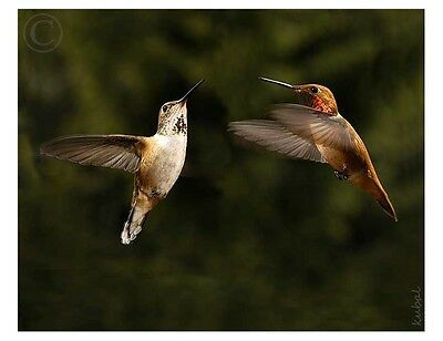 "Rufous Hummingbirds in Flight 8""x10"" Art Photograph"