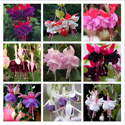 100 Pieces Fuchsia Seeds Lantern Flower Bonsai Colorful Perennial Flowers Plants