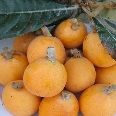 20pcs Loquat Tree(Chinese Plum)Seeds Sweet Juicy Large Fruit Evergreen Tree