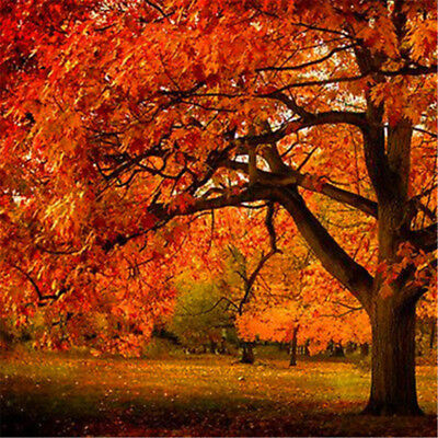 20pcs Oak Tree Seeds Chinese Quercus Maple Tree Tall Strong Plants Red Leaves