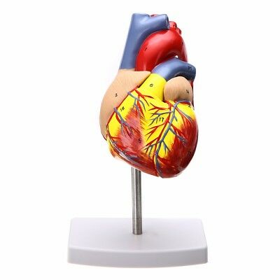 Anatomical Human Life Size Heart Model Medical Cardiovascular Anatomy NEW