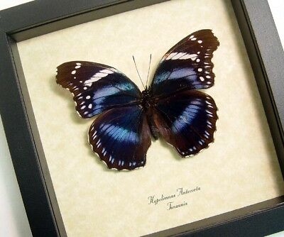 Real Framed Hypolimnas Antevorta Rare Male Purple Butterfly from Tanzania 8008