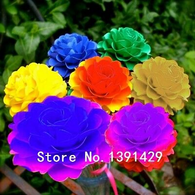 new arrival 100 pcs rare real Rainbow Chrysanthemum Flower Seeds, mixed color ,D
