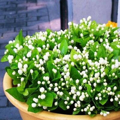 20 seeds/pack Balcony potted jasmine flower seeds easy to plant seeds  seasons s