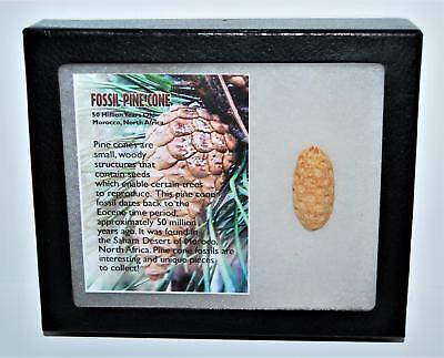 Pine Cone Fossil w/ Display Box LDB 50 Million Yrs Old COA #13279 13o
