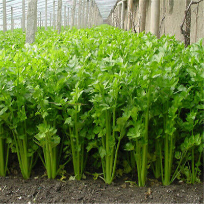 100 Celery Seeds Apium Graveolens Vegetable Organically Grown Heirloom Vegetable