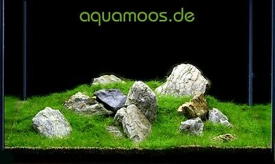 Mini-Moos fürs AQUARIUM, Minimoos, Taxiphyllum spec. !