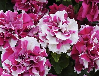 10 large bloom petunia seeds DUO ROSE WHITE big ruffled double blooms 6cm in dia