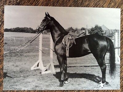 Horse Postcard- 'Cromwell' - Fabulous Alert Image Of This Showjumper - New Mint