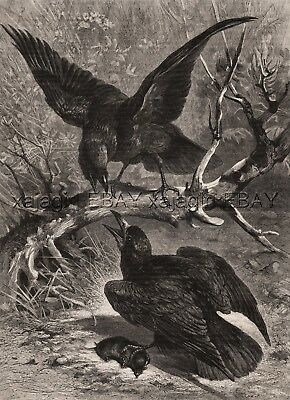 Bird Ravens Fighting Over a Caught Vole, Large 1880s Antique Print