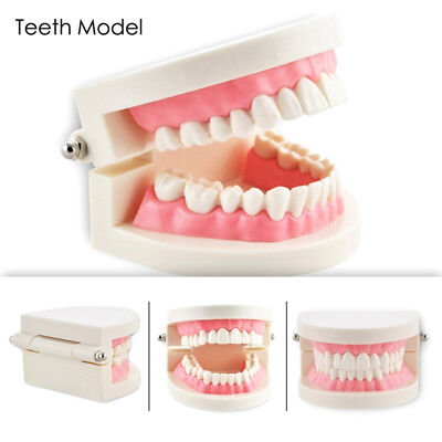 Standard Tooth Model Dental Teeth Tooth Removable Teaching Models Tools Decos