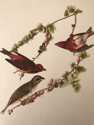 "Audibon Full Color 9X12"" Lithograph Print Purple Finch"