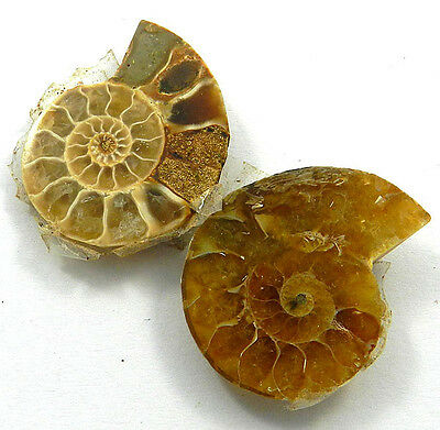 8.23 GM 1 Pair NATURAL AMMONITE FOSSIL 21x28MM gemstone for Making Jewelry