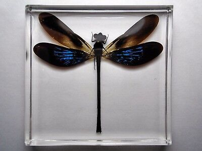EUPHAEA VARIEGATA ODONATA damselfly ( Male ) Crystal clear resin encapsulation