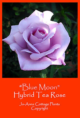Blue Moon Ht Rose - Scented Repeat Flowering Bare Rooted ** 4 For 3 **