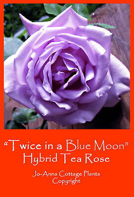 Twice In A Blue Moon Ht Rose - Scented Repeat Flower Bare Rooted ** 4 For 3 **