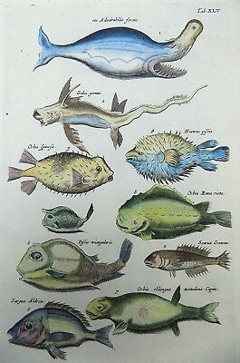 1657 MONSTER WHALE Blow Fish Orb Fish - MERIAN Folio Handcolored Engraving