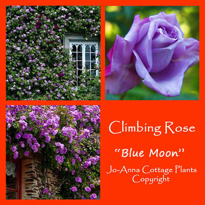 Blue Moon Climbing Rose - Scented Repeat Flowering Bare Rooted ** 4 For 3 **
