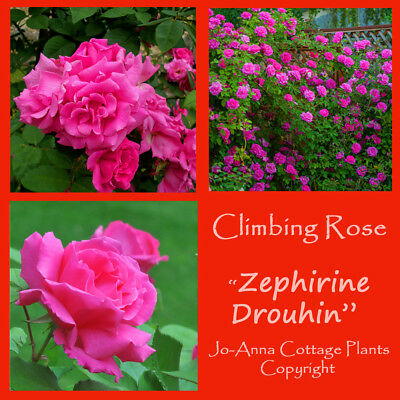Zephirine Drouhin Climbing Rose Continuous Thornless Bare Root ** Any 4 For 3 **