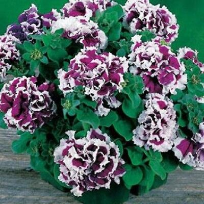 10 double petunia seeds PIROUETTE PURPLE nice bi – colored ruffled double blooms
