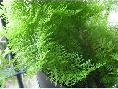 October Fern Collection Pot Plant Rare Exotic