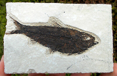Fossilized Fish - Knightia - Eocene age - Green River formation. Ref:CRL.KN1