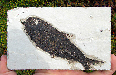 Fossilized Fish - Knightia - Eocene age - Green River formation. Ref:CRL.KN2