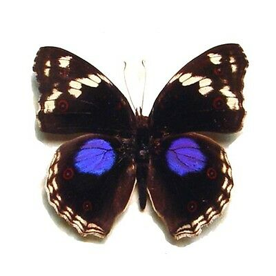Real Framed Precis Clelia African Purple Spot Butterfly 8130