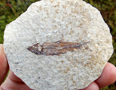 Knightia alta Fossilized Fish - Eocene age - Green River formation. Ref:OE.KN1