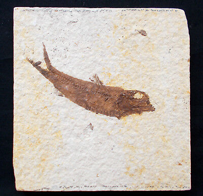 Fossilized Fish Knightia Eocene Green River formation Wyoming USA. Ref:KNA#1