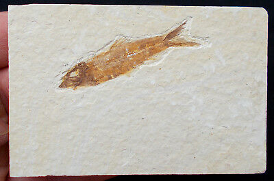 Fossilized Fish Knightia Eocene age Green River formation Wyoming USA. Ref:KNA#3