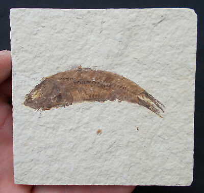 Fossilized Fish Knightia Eocene Green River formation Wyoming USA. Ref:KNA#5