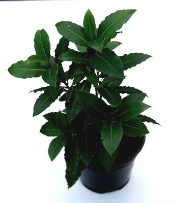 Bay leaf  Laurel plant culinary herb plant aromatic leaves evergreen 30cm tall