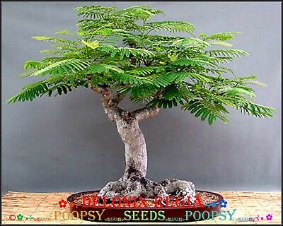 4❀⊱ Delonix Regia Flamboyant ✿ Indoor House Plant Bonsai Tree Seeds Ƹ̵̡ӝ̵̨̄ʒ⊰❀