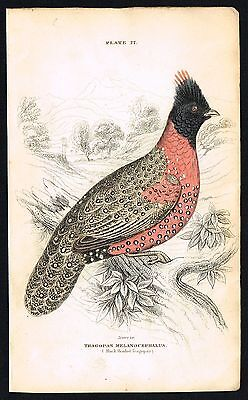1843 Antique Print - Western Horned Tragopan Pheasant, Hand-Colored Engraving