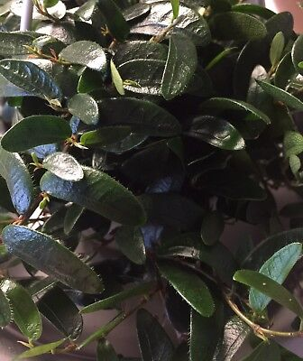 Ficus Punctata Zimmerpflanze Pflanze Jungpflanze