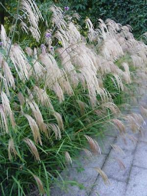 Miscanthus nepalensis - 3 x Ornamental Grasses in 9cm Pots